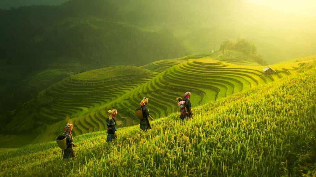 Rismarker i Mu Cang Chai i Vietnam.