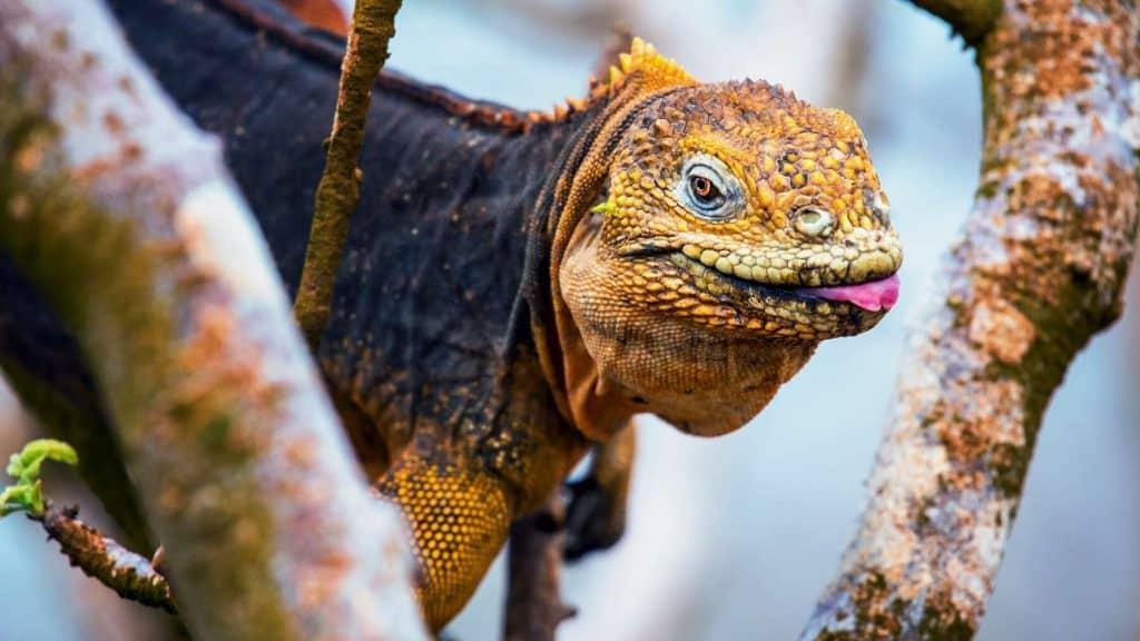 Se iguaner på Galapagos.