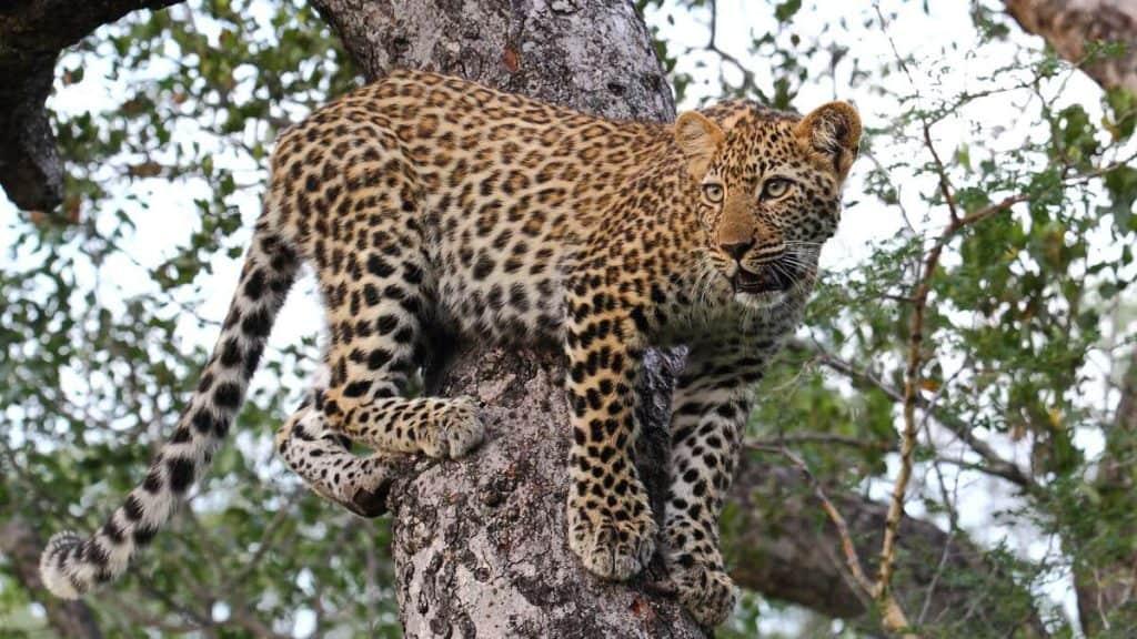 Leopard i Kurger National Park.
