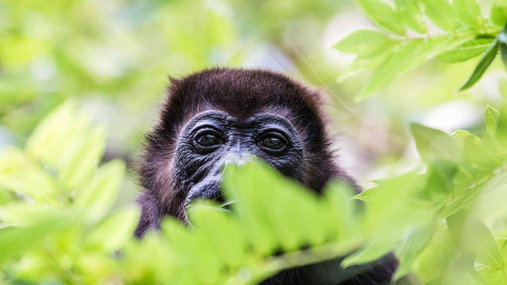 Opplev gorillaer i jungelen i Rwanda.