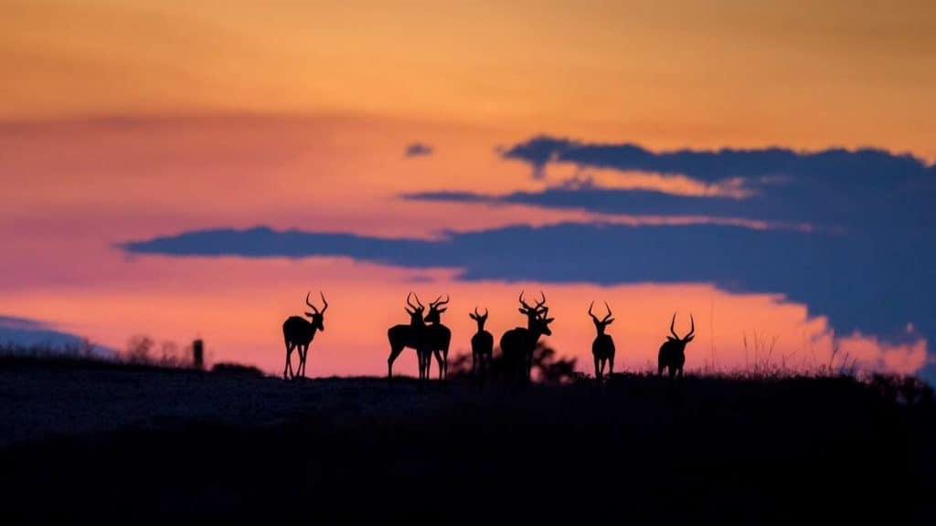 Impalaer i solnedgang.