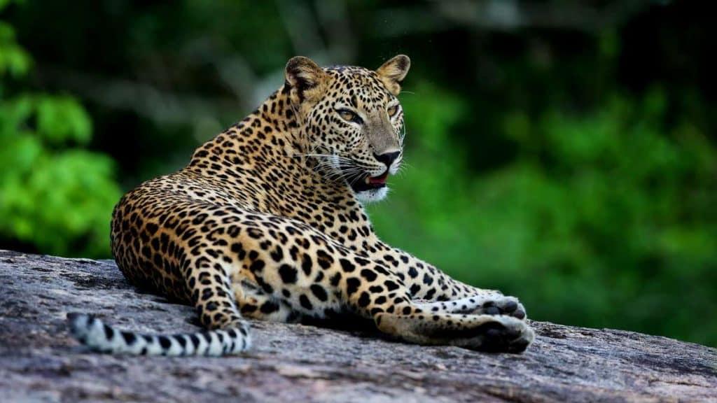 Yala National Park er verdenskjent for sin store bestand av leoparder og andre ville dyr.